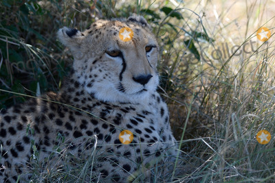 CHEETAH CUB Photo - March 5 2016 New York CityCheetah cubs seen in Maasai Mara National Reserve on March 5 2016 in KenyaCredit Kristin Callahan